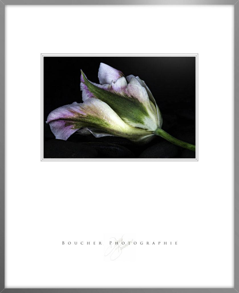 Pink Tulip w Frame