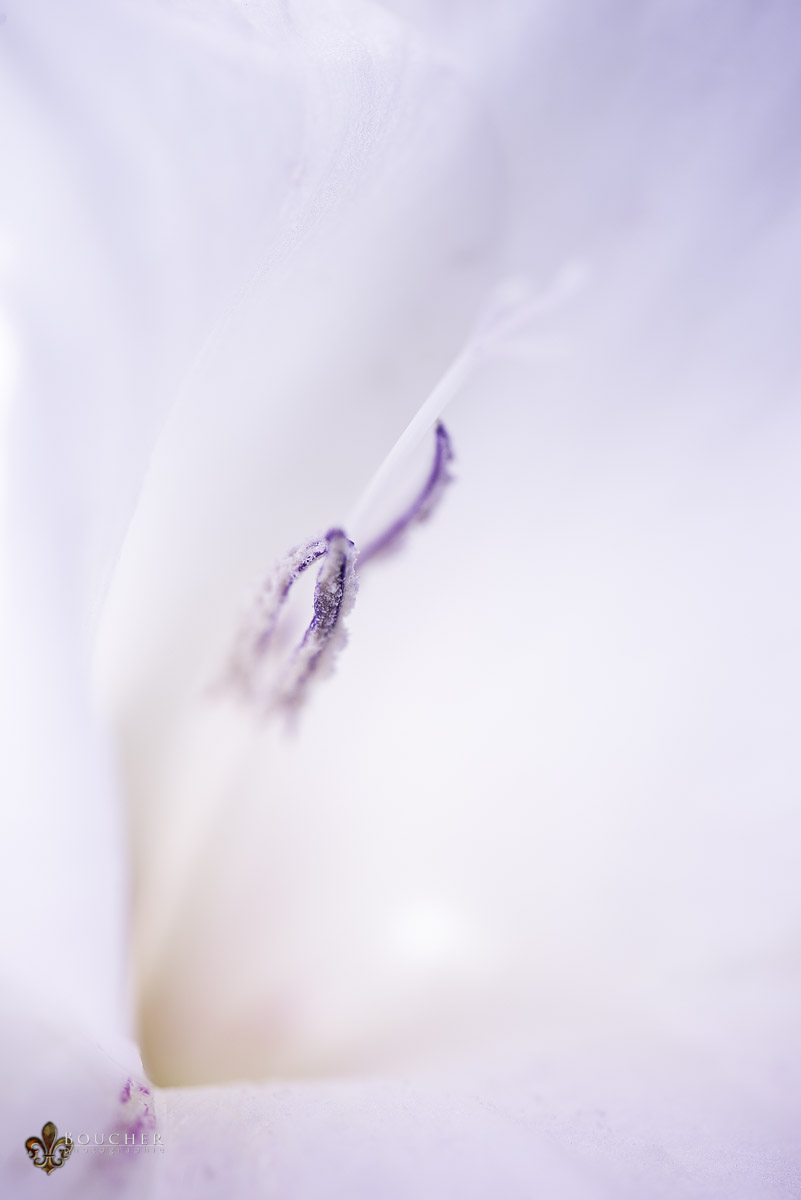 White_Gladiola (Flattened)