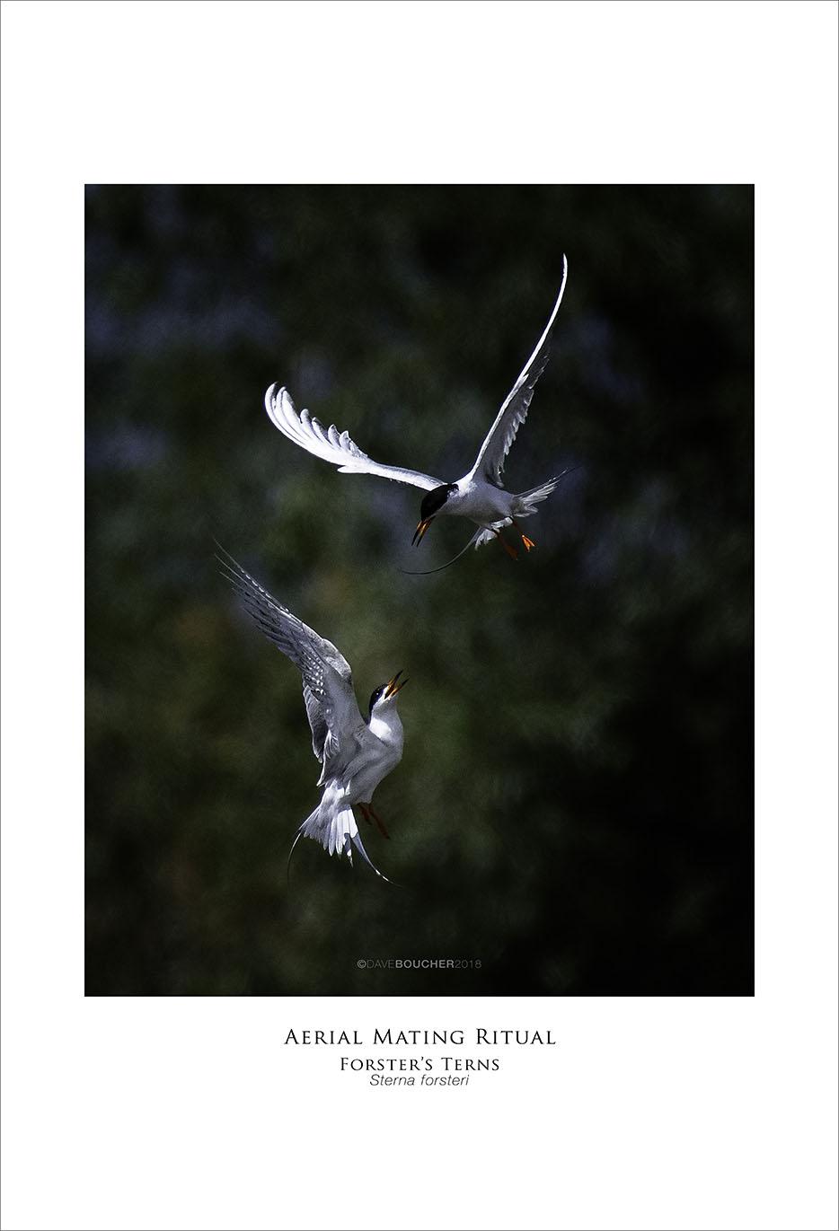 Aerial Mating Ritual