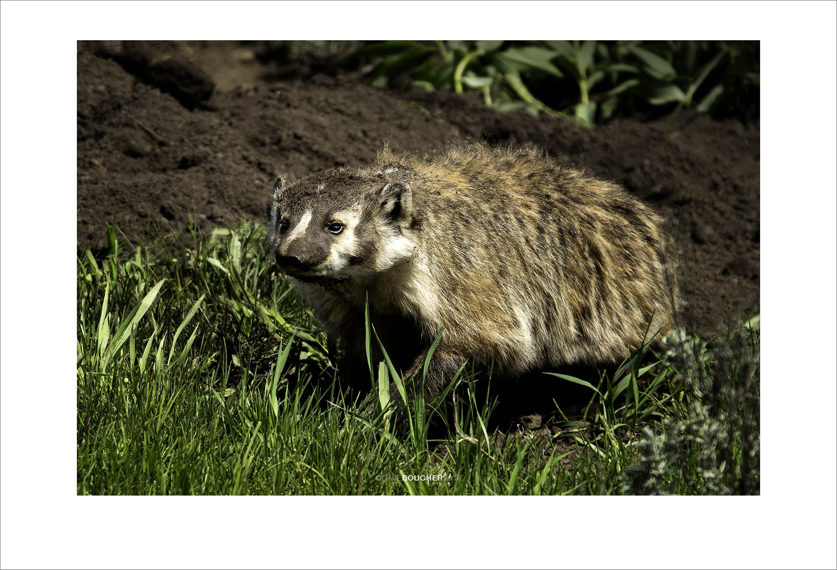 Badger w/ pups